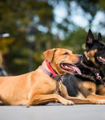 Adiestramiento canino zona norte
